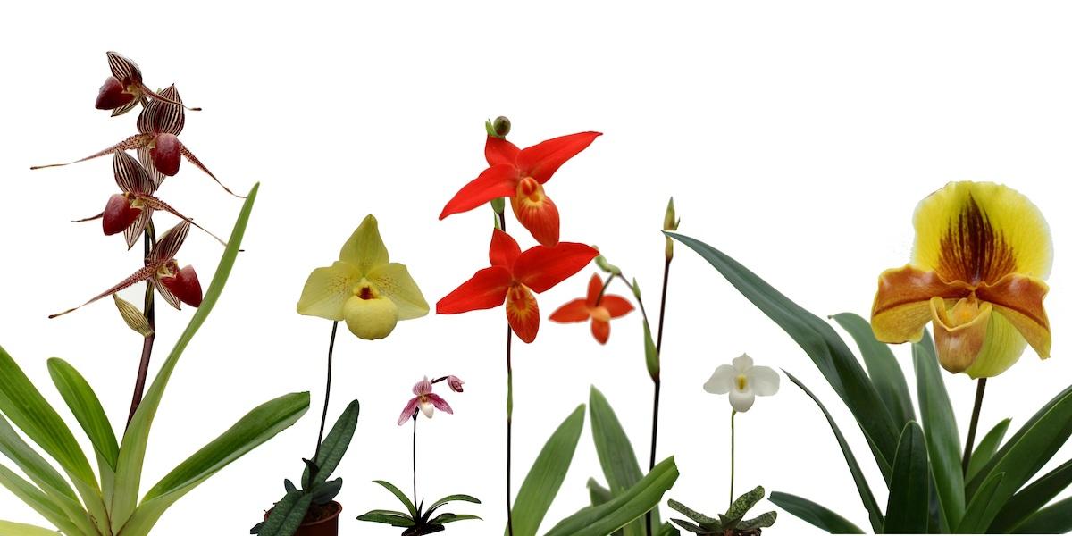 Orchideen-Frauenschuhmix-2020_003_40-4000x2000