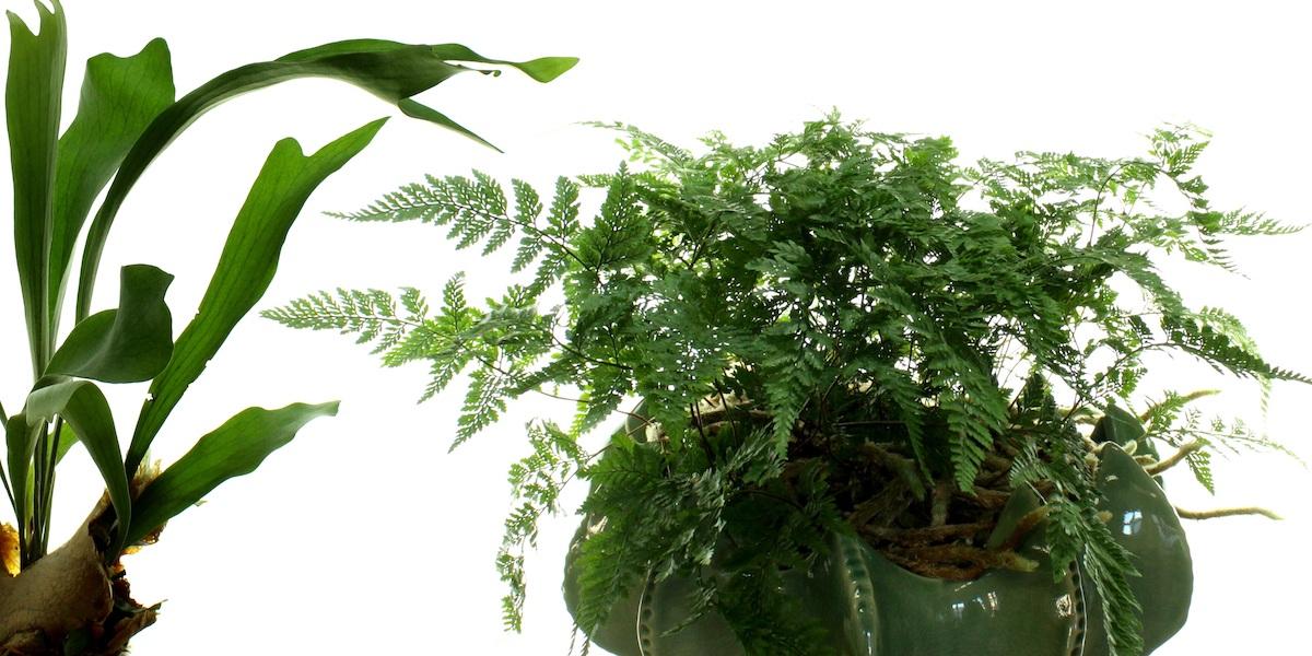 Topfpflanzen-Farnmix-2010_001_40-4000x2000