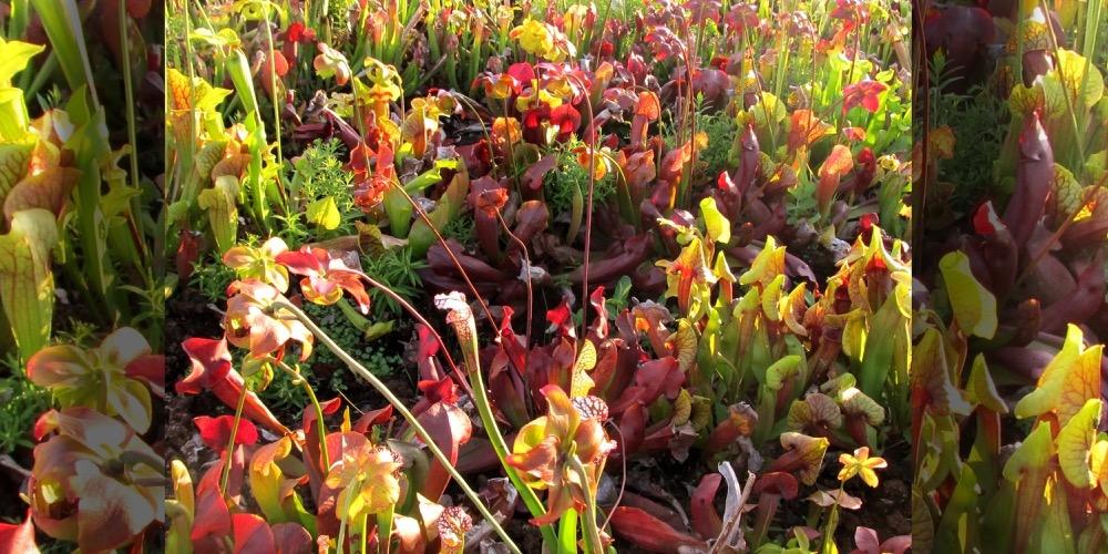 Moorbeetpflanzen 1521 521 (4) (4000x2000)