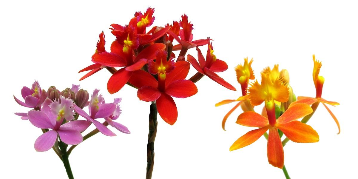 Orchideen-Epidendrum-009-50-4000x2000