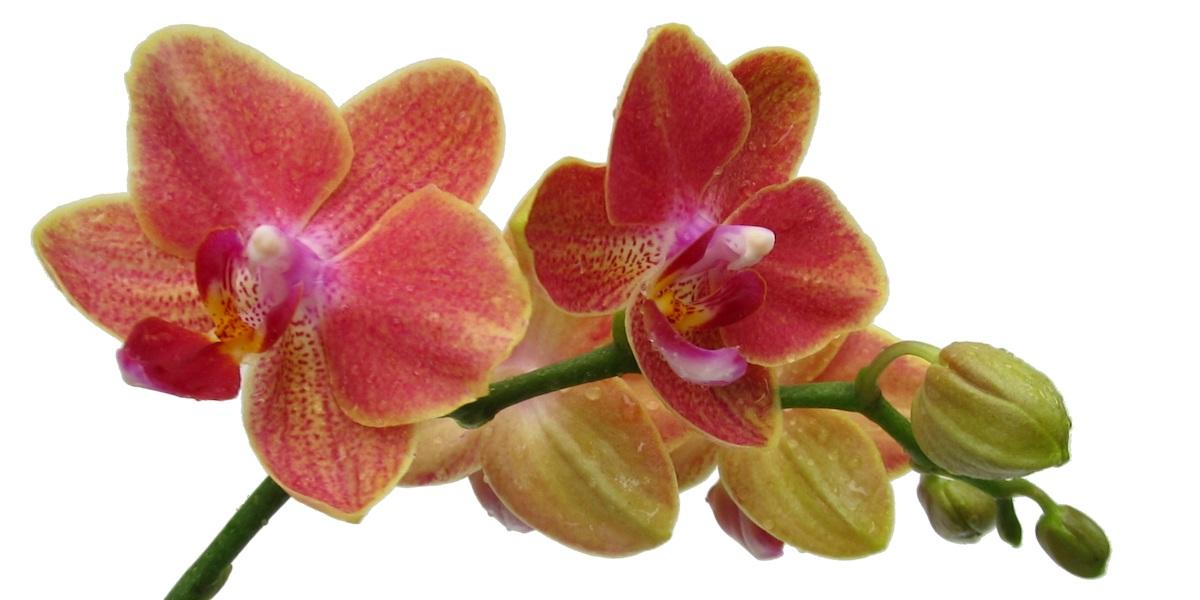 Orchideen-Phalaenopsis-1905_413_40-4000x2000