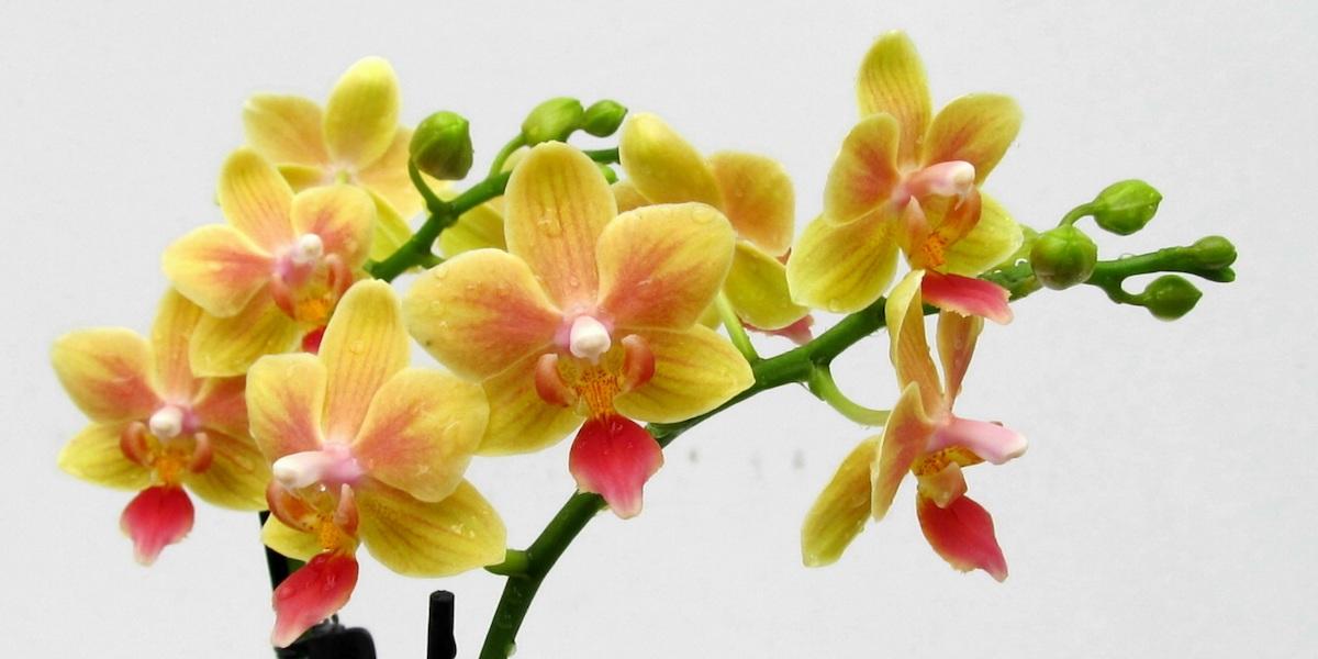 Orchideen-Phalaenopsis-1905_419_40-4000x2000
