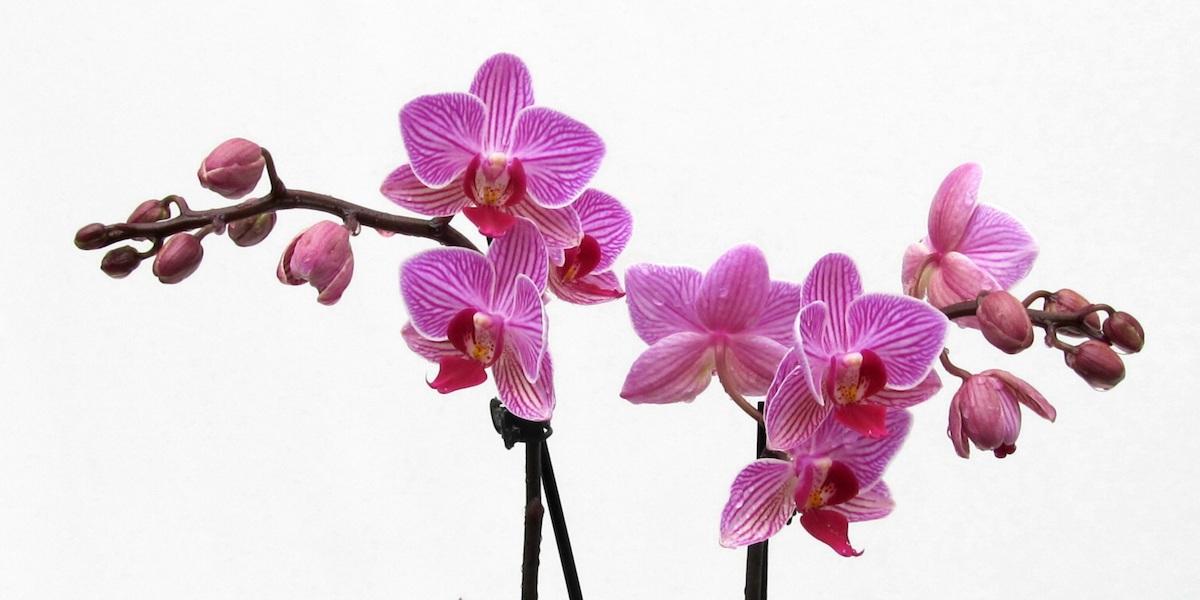 Orchideen-Phalaenopsis-1905_454_40-4000x2000