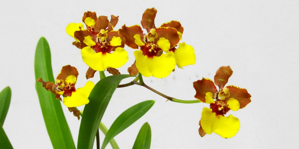 Orchideen-1905_311_40-4000x2000