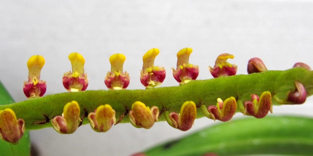 Orchideen Bulbophyllum falcutum 1623 562 (40) (4000x2000)