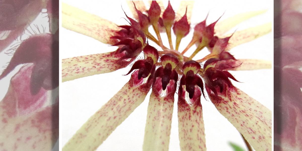 Orchideen Bulbophyllum hirundinis 1652 423 (40) (4000x2000)
