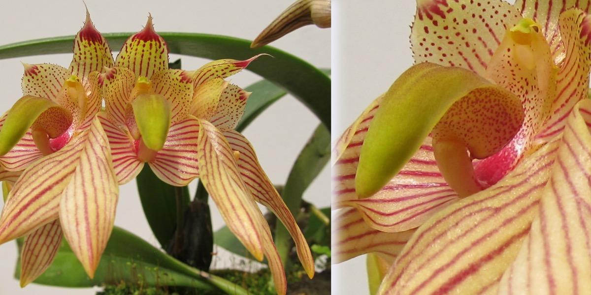 Orchideen-Bulbophyllum-madusae-1813_721_53-4000x2000