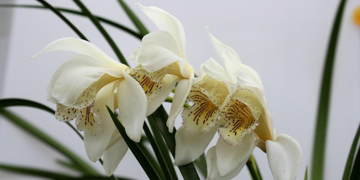 Orchideen-Chymbidium-denjamära-1904_295_40-4000x2000
