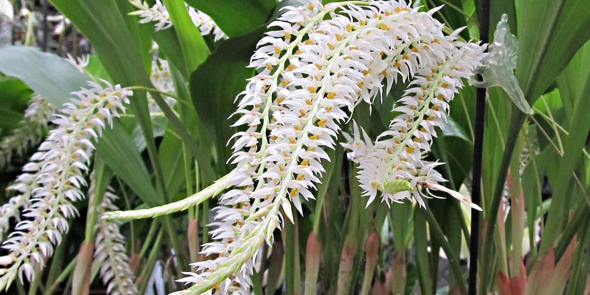 Orchideen Dendrochilum Glumaceum 1605 068 (41) (4000x2000)