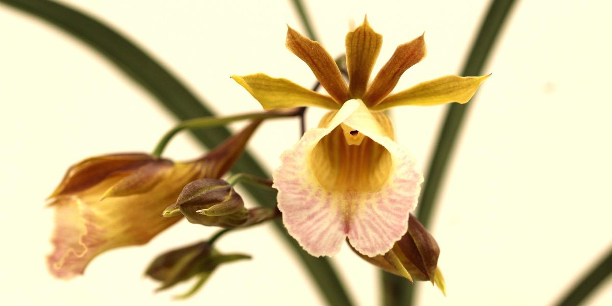 Orchideen-Galeandra-baueri-1874_813_41-4000x2000