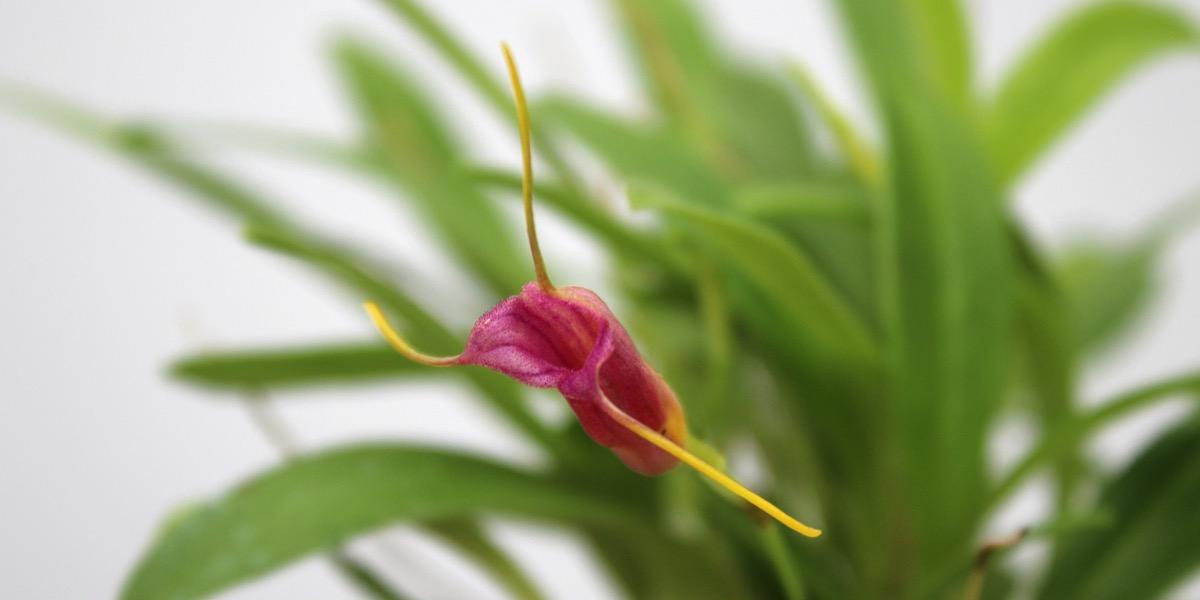 Orchideen-Masdevallia-x_mystica-1904_157_40-4000x2000